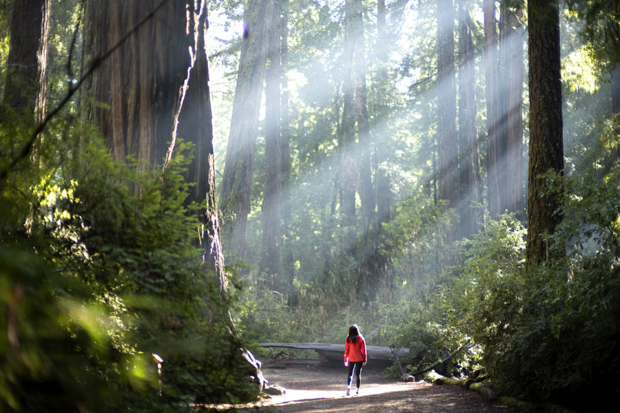 redwood trees in forest near san francisco